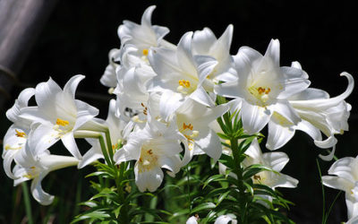 Lenten Roses, Palms and Easter Lilies